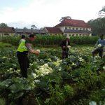 Anggota Bhabin Polsek Ngantang Polres Batu Bantu Kegiatan Petani Memanen Sayur