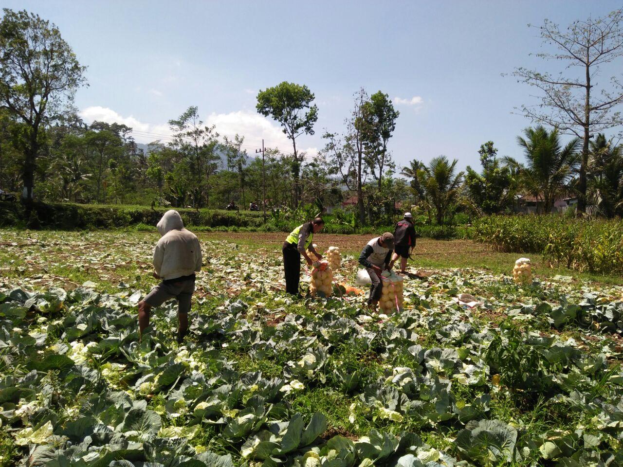 Bhabinkamtibmas Desa Waturejo Polres Batu Bantu Petani Panen Sayur di Sawah