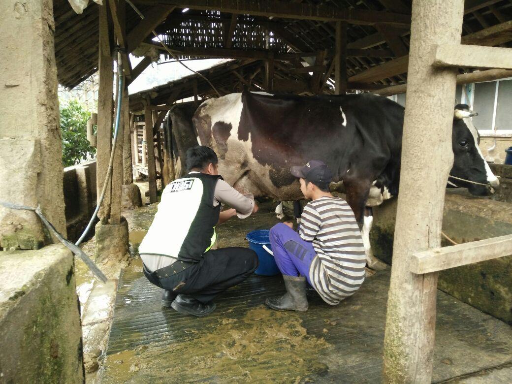 Bhabinkamtibmas Desa Pesanggrahan Polsek Batu Kota Polres Batu Jalin Kemitraan Dengan Peternakan Sapi