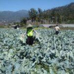 Patroli Membantu Petani Memanen Sayur, Anggota Bhabin Polsek Batu Polres Batu Jaga Sinergitas Dengan Warganya