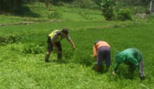 Anggota Bhabin Polsek Bumiaji Polres Batu lebih Dekat Dengan Masyarakat Membantu Memanen Sayur