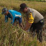 Anggota Polsek Batu Kota Polres Batu Bantu Untuk Mendukung Ketahanan Pangan Di Wilayah Songgokerto