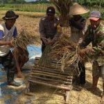 Anggota Bhabin Polsek Batu Polres Batu Membantu Memanen Padi Warga Binaanya