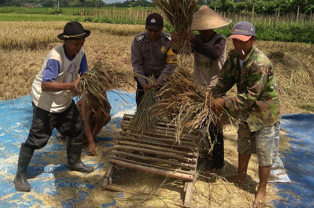 Kedekatan Anggota Bhabinkamtibmas dengan masyarakat di perlihatkan dalam kegiatan panen padi bersama