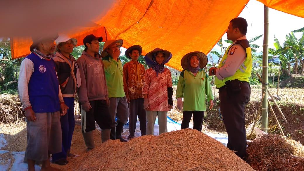 Dukung ketahanan pangan ps kanit bimas Polsek Batu Polres Batu membantu petani padi panen