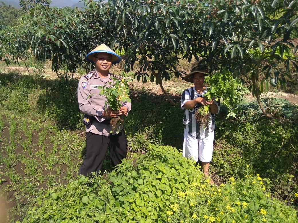 Panen Sayuran Organik Satgas Kemitraan Bhabin Polsek Batu Bersama Warga