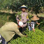 Giat Sambang, Panen Sayuran Organik Satgas Kemitraan Bhabin Polsek Batu Bersama Warga