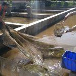 Kunjungan Potensi Perikanan Bhabin Kelurahan Songgokerto Polsek Batu Kota Polres Batu