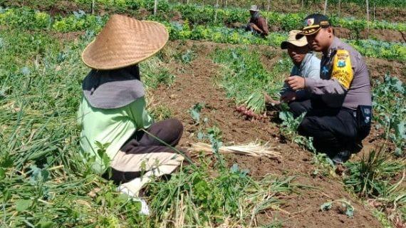 Melaksanakan giat Sambangi Warga Panen Bawang Merah Bhabinkamtibmas Kelurahan Temas Polsek Batu Polres Batu Titipkan Pesan Kamtibmas