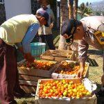 Sambang Kerukunan Tani anggota Bhabinkamtibmas Desa Sumberejo Polsek Batu Kota ikut memanen tomat