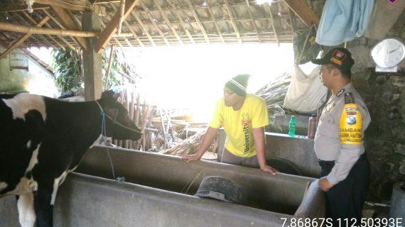 Kegiatan Sambang Pagi Kunjungan Potensi Ternak Bhabin Kelurahan Songgokerto Polsek Batu Polres Batu Sampaikan Pesan Kamtibmasserap aspirasi warga dan dalam rangka Harkamtibmas