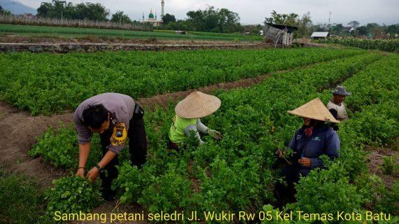 Sambang Petani Seledri Bhabinkamtibmas Kelurahan Temas Polsek Batu Kota