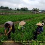 Anggota Bhabinkamtibmas DDS dan Tatap Muka, Sambang Petani Seledri Bhabinkamtibmas Kelurahan Temas Polsek Batu Kota