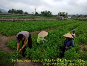 Anggota Bhabinkamtibmas Bersama Warga Tatap Muka, Sambang Petani Seledri Bhabinkamtibmas Kelurahan Temas Polsek Batu Kota
